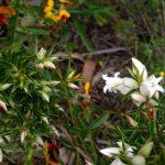 Astroloma xerophyllum.