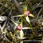 Grand Spider Orchid.