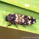 Clerid Beetle.