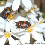 Harlequin Bugs on Wedding Bush.