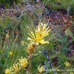 Lambertia multiflora.