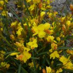 Lance-leaved Cassia.