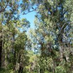 Marri - Tuart Forest.