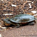 Western Swamp Tortoise.