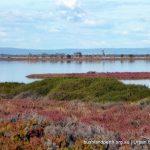 Samphire wetlands.