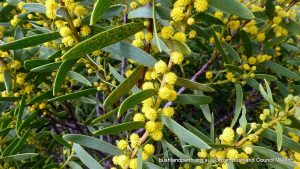 Rigid Wattle.