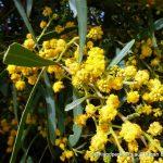 Summer-scented Wattle.