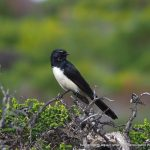 Willie Wagtail.