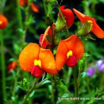 Yellow-eyed Flame Pea.
