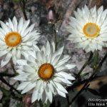 Helichrysum macranthum.
