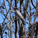 Black-faced Cuckoo Shrike.