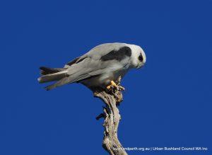 Black-shouldered Kite.