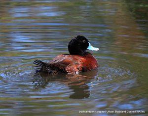 Blue-billed Duck.