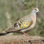 Common Bronzewing, Phaps chaloptera.