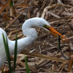 Great Egret with Glossy Swamp Skink.
