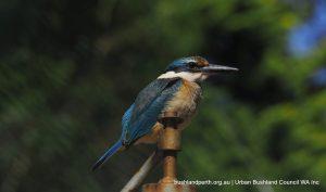Sacred Kingfisher.