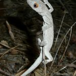 Spiny-tailed Gecko.