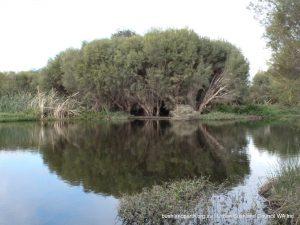 Swamp Paperbark - Melaleuca rhaphiophylla.