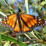 Wanderer Butterfly.