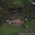 Female Hardhead Duck.