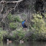 Swamphen and Grey Teal.