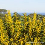 Rigid Wattle