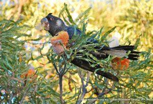Acorn Banksia.