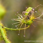 Sundew with prey.