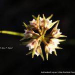 Autumn Leek Orchid.