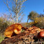 Rustgill Fungi.