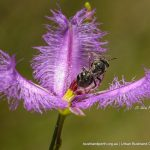 Stingless Bee on Fringe Lily.