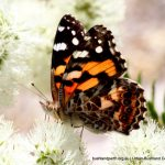 Australian Painted Lady Butterfly.