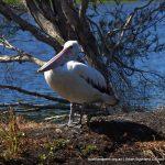 Australian Pelican loafing.