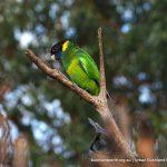 Australian Ringneck Parrot.