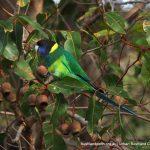 Ringneck Parrot.