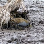 Aust Spotted Crake.