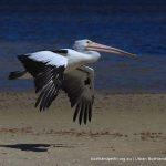 Australian Pelican - Point Walter Spit.