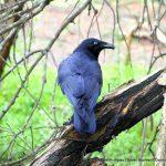 Australian Raven - Baigup Wetlands.