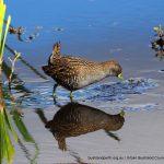 Australian Spotted Crake - Lake Beeliar.