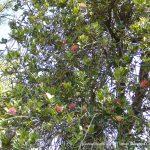 Banksia ilicifolia.