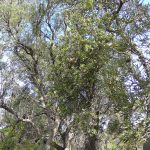 Holly-leaved Banksia