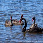 Black Swan - Baigup Wetlands.