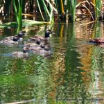 Blue-billed Duck family