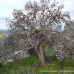 Slender banksia (Banksia attenuata).