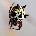 Christmas spider (Austracantha sp.).
