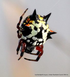 Christmas spider (Austracantha sp.).