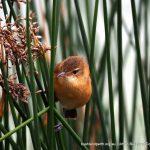 Australian Reed Warbler - Lake Monger.