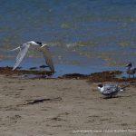 Crested Tern - Penguin Island.