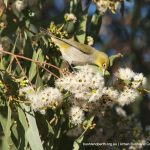 Silvereye on eucalypt flower.