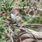 Eclipse male Variegated Fairy-wren.